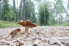 Agaric mushrooms in natural enviroment Stock Photos