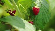 Stock Video Footage of Child plucks ripe raspberries