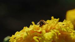 Bee pollinates flower Stock Footage
