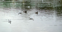 Ducks swimming in the water Stock Footage