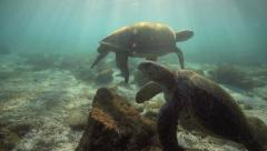 Green sea turtles relaxing in lagoon and coming up for air Stock Footage