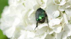 Close view green beetles intruding deep into white inflorescence Stock Footage