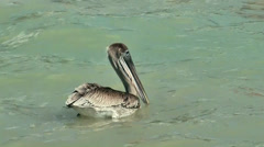 KeyWest 059HD, a Pelican is swimming in turquoise water of Caribbean Sea Stock Footage