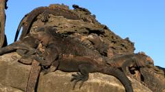 Marine iguanas sunbathing on volcanic rocks Stock Footage