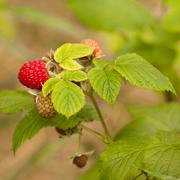 Juicy ripening red raspberry fruit on green plant Stock Photos