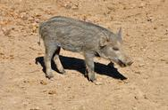Stock Photo of wild boar piglet