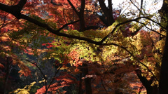 Stock Video Footage of Autumnal Leaves in Kyoto JAPAN