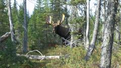 Close up of a bull moose Stock Footage