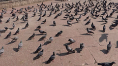 A group of pigeons 4 Stock Footage