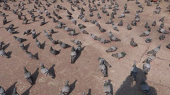 A group of pigeons 1 Stock Footage