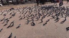 A group of pigeons 3 Stock Footage