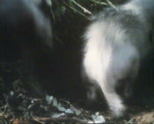 European Badger (1970s film footage) Meles meles cub near burrow and into tunnel Stock Footage