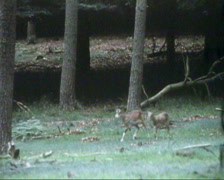 Mouflons in European forest (1970s film footage) Stock Footage