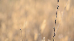 Dry Blured Grass With Focus Motion through the Scene Stock Footage