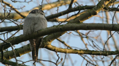 Northern Hawk Owl Stock Footage