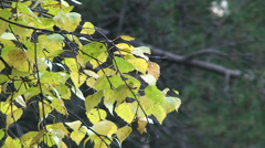 Pan left on birch tree yellowish leaves Stock Footage