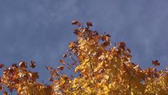 Zoom from red-yellow tree leaves against a blue background sky Stock Footage
