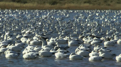 Stock Video Footage of Comical Bobbing Snow Geese Time Lapse