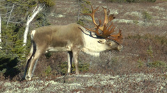 Woodland Caribou Stock Footage