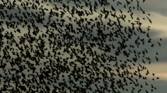 Hundreds Of Blackbirds Swarm Sky Stock Footage