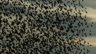 Stock Video Footage of Hundreds Of Blackbirds Swarm Sky