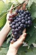 Stock Photo of grapes in the vineyard