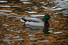Mallard drake in the rippling water Stock Photos