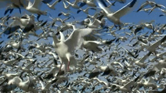 Snow Geese Fly Close Up Stock Footage