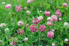 Pink flowers of clover Stock Photos