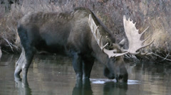 Big bull getting a drink of water.m2t Stock Footage