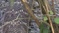 Stock Video Footage of Slithering Rattlesnake Extreme Close Up
