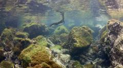 Marine iguana swimming underwater over volcanic reef Stock Footage