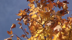 Red and yellow leaves against a bright blue sky Stock Footage