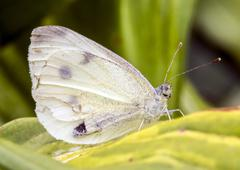 white butterfly with human-like face sitting on green leaf - stock photo
