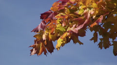 Red orange leaves against a blue sky Stock Footage