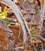 White tail deer hiding in brush hurricaine ridge olympic national park washin Stock Photos
