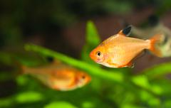 minor tetra freshwater fish in aquarium - stock photo