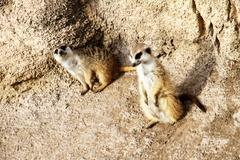 Two meerkats Stock Photos