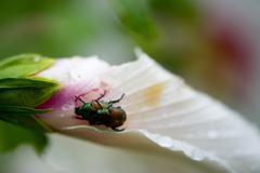 Mating ladybugs - stock photo