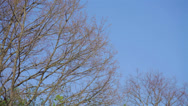 Stock Video Footage of Green crown of maple tree and blue sky in summer