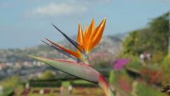 Close up of strelitzia, funchal botanical garden, madeira, portugal Stock Footage