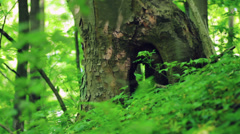 Hollow in a tree Stock Footage