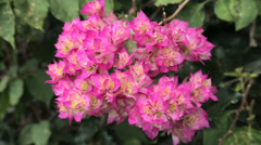 Close up of bougainvillea flowers Stock Footage