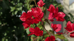 Close up of bougainvillea flowers swaying in the wind Stock Footage