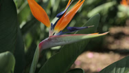 Stock Video Footage of close up of strelitzia or bird of paradise flower