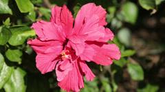 Hibiscus flower Stock Footage