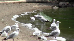 Seagulls on the Shores of Grand Lake St Marys Stock Footage