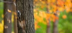Black woodpecker - stock photo