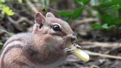 Chipmunk Chews on a French Fry Stock Footage