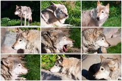 Gray Wolf Piirros